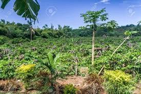 Plantation d'Ylang Ylang(3)
